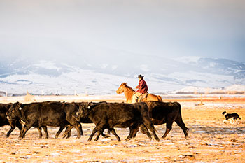 A man on a horse herding cattle in front of snowy mountains.